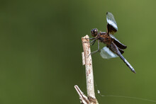 A Widow Skimmer Perched On A Dead Tree