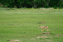 Wide Angle View Of A Coyote Wa...