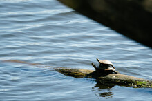 Wide Angle View Of Two Turtles Basking In The Sun