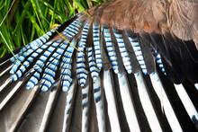 Wing Of  Eurasian Jay (Garrulu...