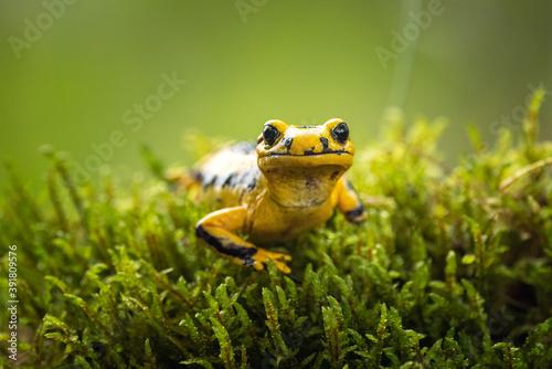 Cuadros en Lienzo Fire salamander (Salamandra salamandra) is the best known salamander, with its black spots on yellow body