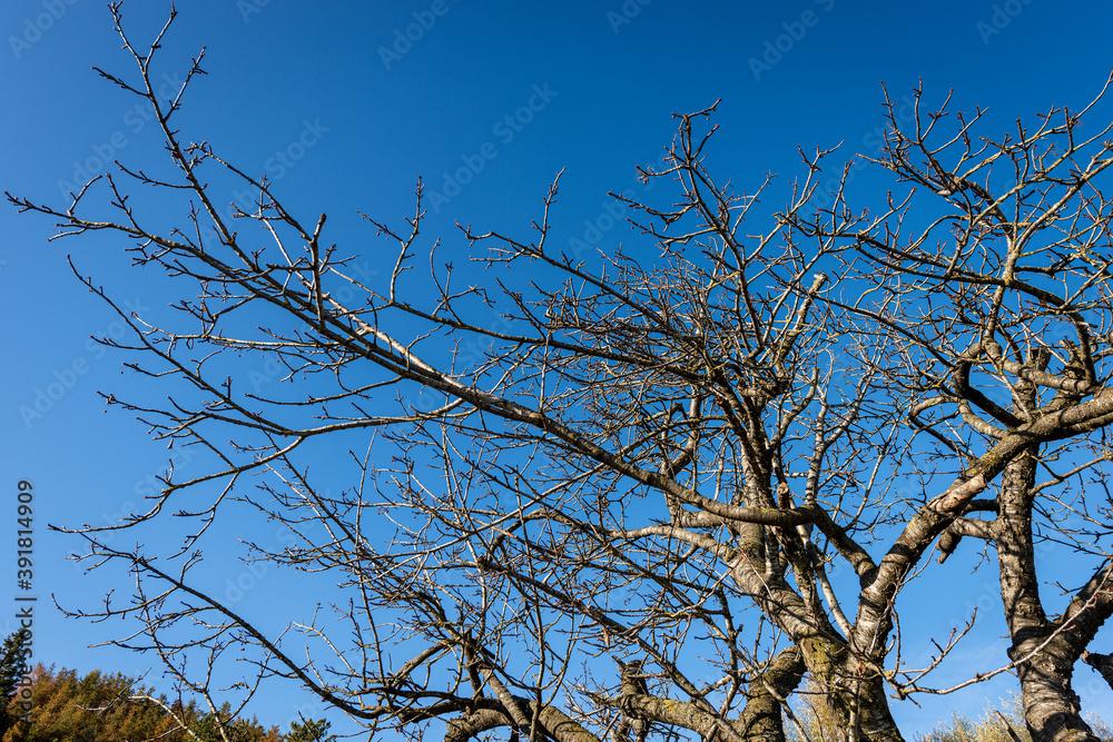 Fototapeta Closeup of a bare tree on clear sky in winter, Lessinia Plateau, Veneto, Italy, Europe.