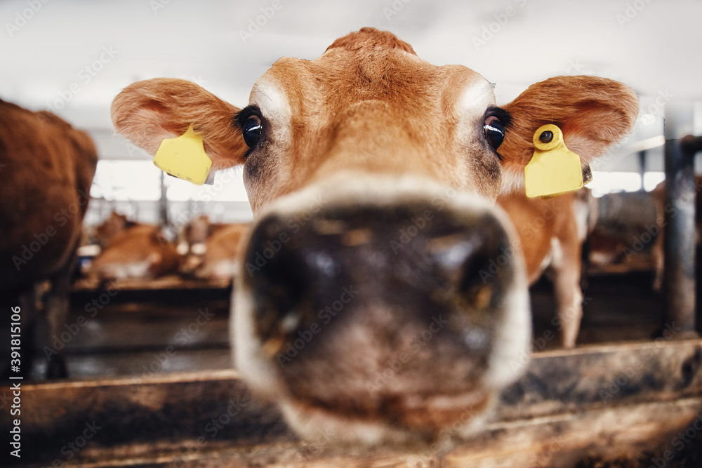 Fototapeta Portrait of red hairy jersey smile cow funny face, big ears showing tongue