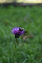 A Wild Flower Thistle Growing In A Field And Two Bees Pollinate It
