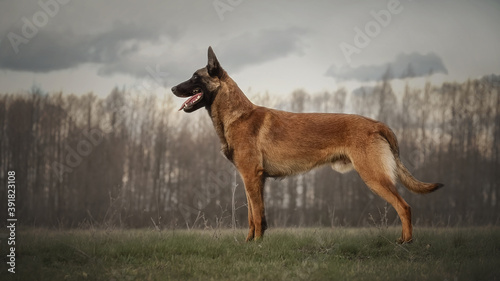 Obraz na plátne Working dog belgian malinois is standing in field