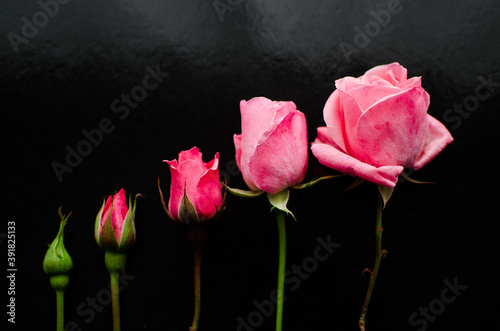 Valokuva Blossoming of pink roses