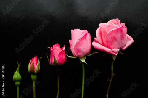 Obraz na plátne Blossoming of pink roses