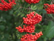 canvas print picture Rowan Tree with Red Berries