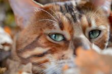 Bengal Cat Portrait. Close Up.