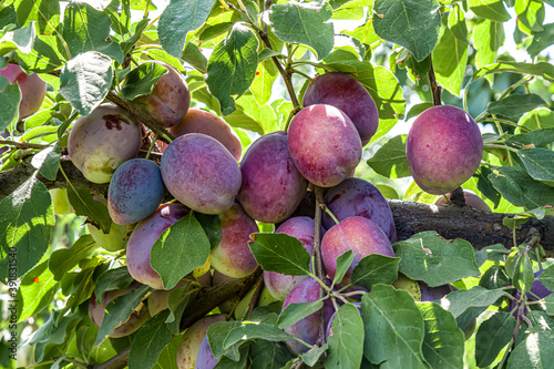 Fotografie, Obraz ripe plums on a tree branch in the orchard