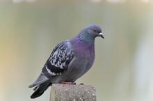 Pigeon De Paris