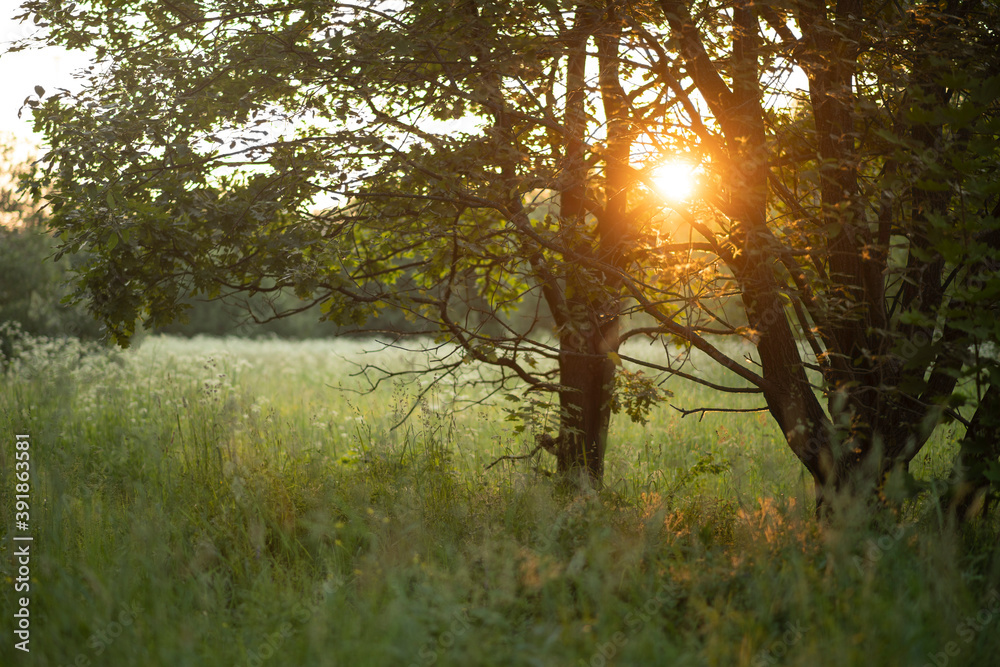 Fototapeta Beautiful sunset over field amidst trees in forest during summertime