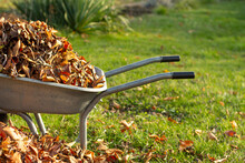 Wheelbarrow Full Of Dried Leav...