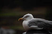 Seagull Resting On A Smokestack.
