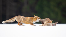 Red Foxes Colonised The North ...
