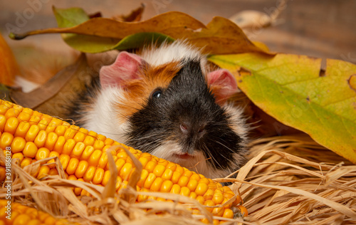 cute little guinea pig in autumnal leaves