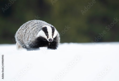 Leinwand Poster The European badger (Meles meles), also known as the Eurasian badger, is a badge