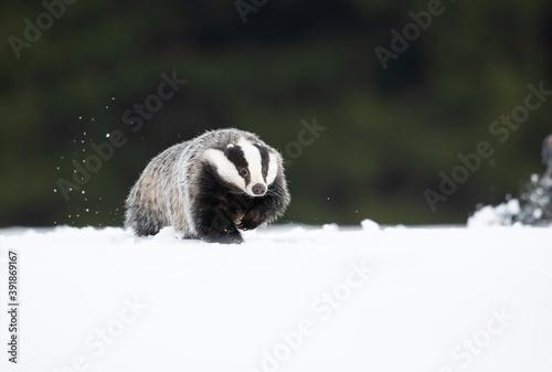 Canvas Print The European badger (Meles meles), also known as the Eurasian badger, is a badge