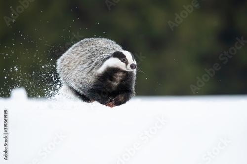 The European badger (Meles meles), also known as the Eurasian badger, is a badge Fototapeta