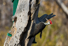 Male Pileated Woodpecker (Dryocopus Pileatus) Autumn