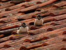 Two Juvenile Barn Swallows (Hirundo Rustica) On Red Tile Roof, Poland
