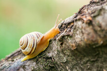 The Snail On A Tree In The Gar...