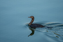 One Young Cormorant Swimming On The Calm River With A Reflection On The Water Surface