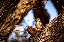 Woodpecker Gazing In A Tree