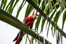 Scarlet Macaw Ara Macao Wild Red Yellow Blue Colored Colorful Beautiful Adorable Parrot Bird In Costa Rica Sitting On Palm Tree Leaf Looking With Fruit Dirt On Beak And Leaves In The Back And Front