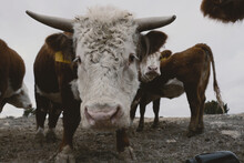 Curious Horned Hereford Bull W...