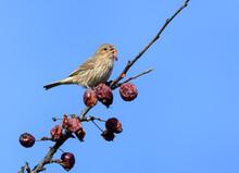 Female House Finch Feeding On ...