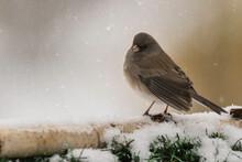 Junco Songbird In The Winter Snow