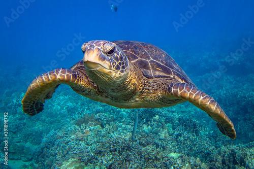 Hawaiian Green sea Turtle cruising in the warm waters of Maui