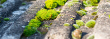 Moss Growing On The Roof Tiles. Close Up. Selective Focus.