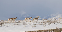 Pronghorn Antelope In Idaho