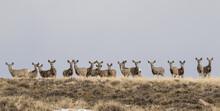 Busted By Mule Deer