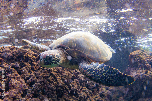Cuadros en Lienzo Hawaiian Green sea Turtle cruising in the warm waters of Maui