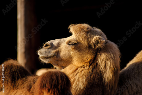 Fototapeta premium camel close up