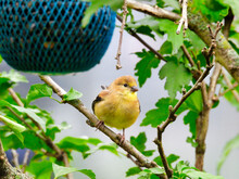Finch Bird On Branch: American Goldfinch Bird Shows Of Her Bright Yellow Feathers While Perched On A Slim Treen Branch With Green Leaves And A Blue Bird Feeder Surrounding Her As She Fluffs Out