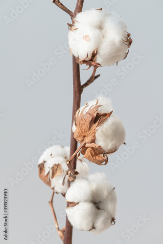 Cotton flower branch on a blue background © Rawpixel.com