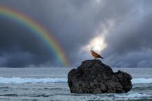 岩場の上で休むミサゴと虹