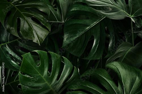 Fotografia Green monstera leaves nature background