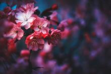 Spring Cherry Blossom Close-up...