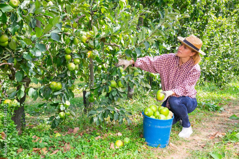 Fototapeta Confident woman harvesting ripe green apples at sunny fruit farm