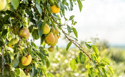 Fotografie, Obraz fresh organic pears on tree isolated. pear fruit.