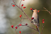 Solitary Bohemian Waxwing, Bombycilla Garrulus, Feeding On Rosehip Bush Eating Red Berries. Brown Bird With Crest And Black Stripe Over The Eye Holding Seed In Beak On A Sunny Autumn Day.