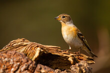 Female Brambling, Fringilla Montifringilla, Sitting On Tree Stump On A Sunny Spring Day. . Little Song Bird With Orange Chest And Brown Head Looking Into The Camera In Horizontal Composition.