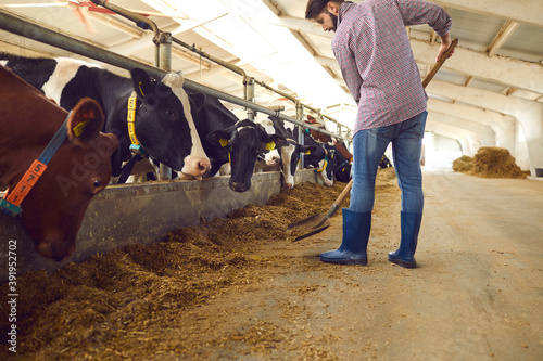 Foto Barn worker adding up some fodder for feeding cows on livestock farm in the coun