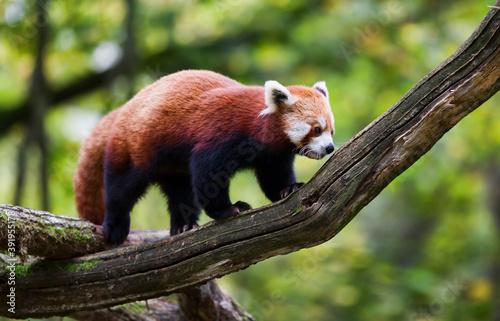 Fotomural Red Panda