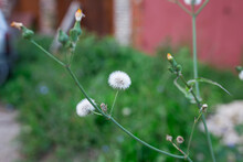 White Dandelion With Green Blurred Background